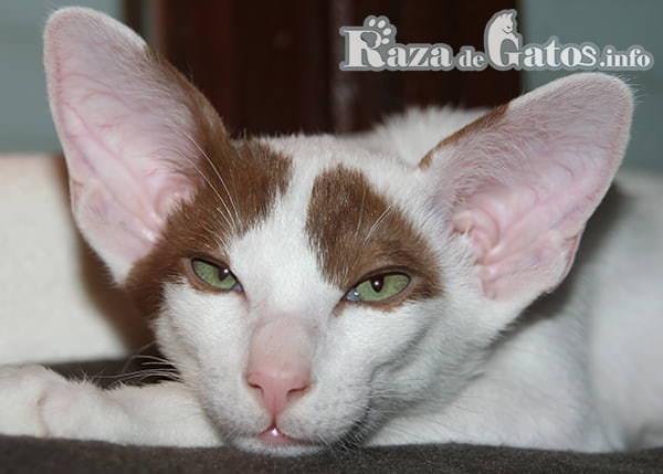 Fotografía de la cara del gato oriental.