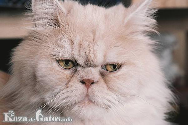 Foto de la cara del gato Persa.