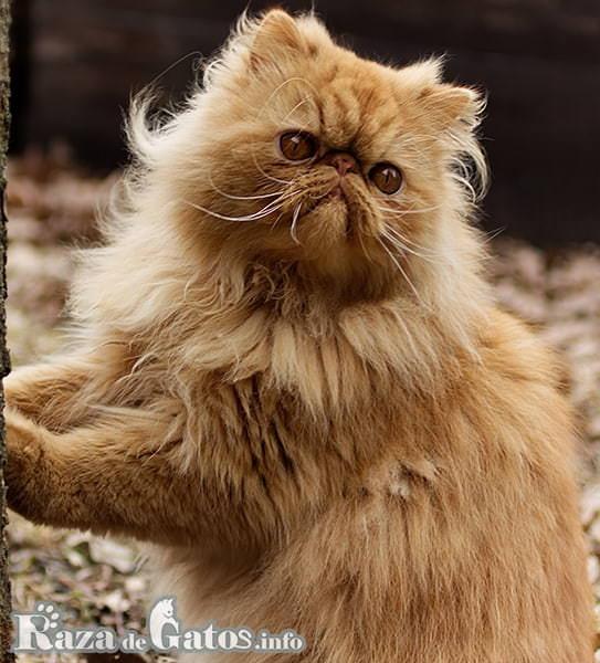 Imágen del gato Persa.