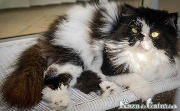 Foto del gato persa, o persian cat en ingles.