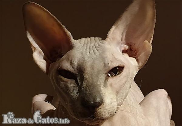 Foto de la cara del gato Peterbald.