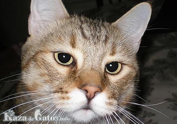 Foto de la cara del gato Pixie Bob.