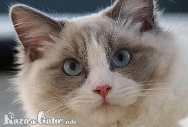 Fotografía de la cara del Gato Ragdoll.