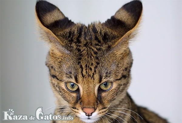 Foto de la cara del gato Savannah.