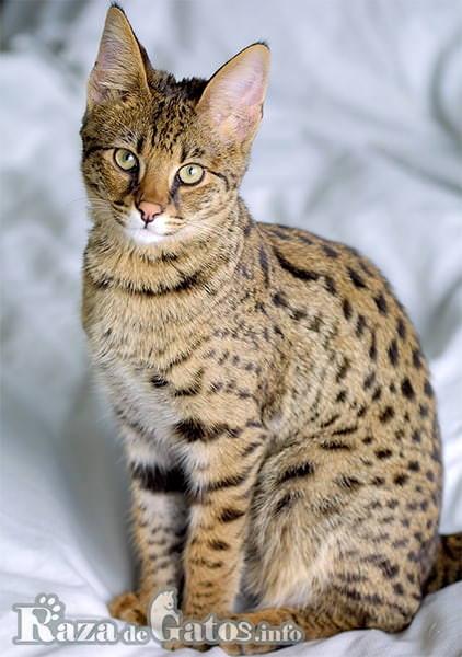 Imágen del gato Savannah sentado para la fotografía.