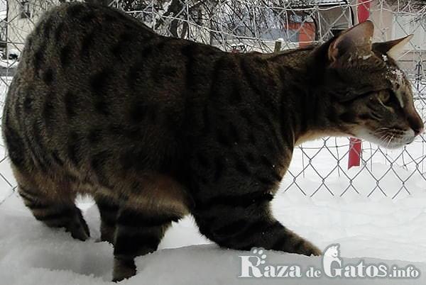 Foto del gato Sabana.