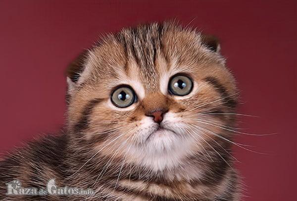 Foto de la cara del gato Scottish Fold.