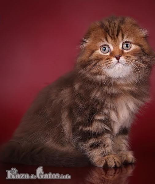 Imágen del gatito Scottish Fold chiquito.