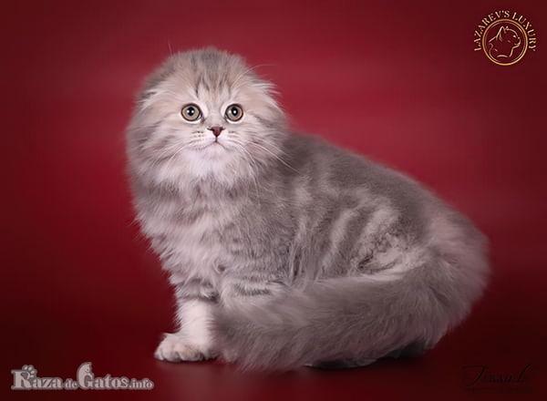 Fotografía del gato Fold Escocés.