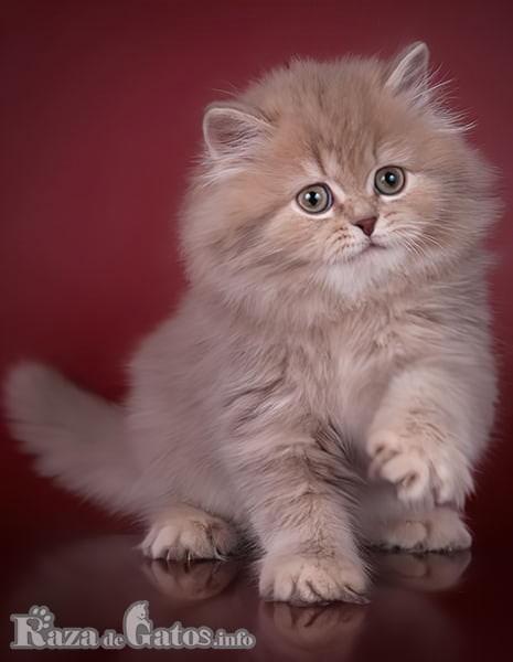 Imágen del gato Scottish Straight pequeño.