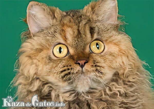 Foto de la cara del gato Selkirk Rex. También llamado gato oveja.