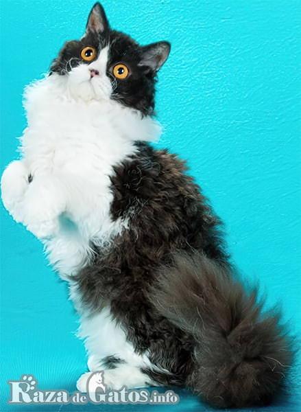 Imágen del gatito Selkirk Rex de pelo rizado.