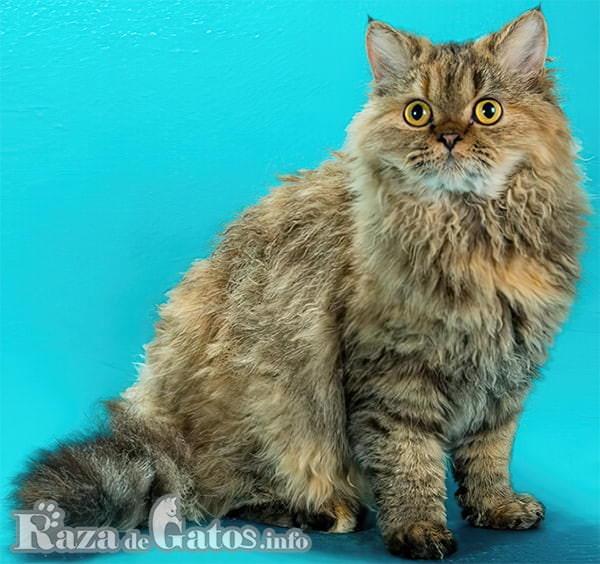 Fotografía del gato selkirk rex de pelaje ondulado.