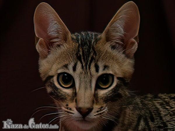 Imágen de la cara del gatito Serengeti. Serengeti cat (en inglish).