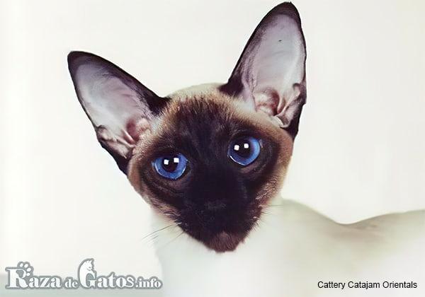 Fotografía de la cara del gato Siamés.