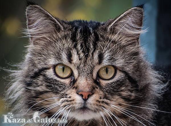 Foto de la cara del gato Siberiano.