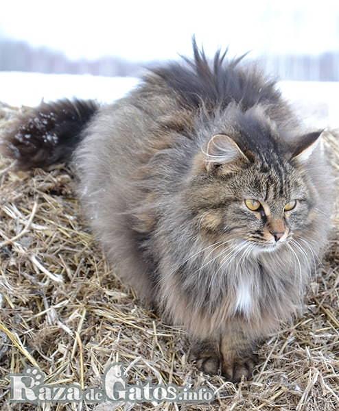 Imagen del gato Siberiano en el frío clima ruso.