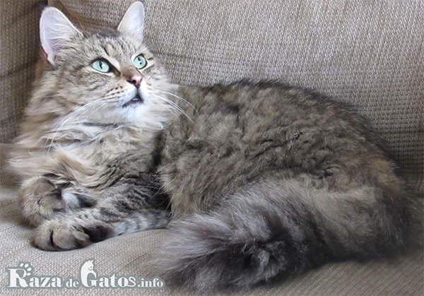 Foto del gato de siberia, siberian cat en ingles.