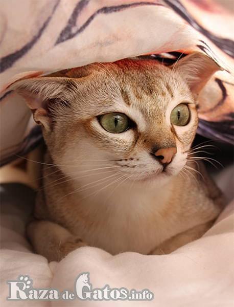 Imágen del gato Singapura en la cama tapado.