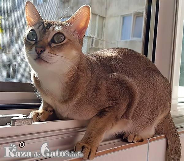 Fotografía del gato Singapur, conocido como el gato de alcantarilla.