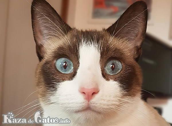Foto de la cara del gato Snowshoe.
