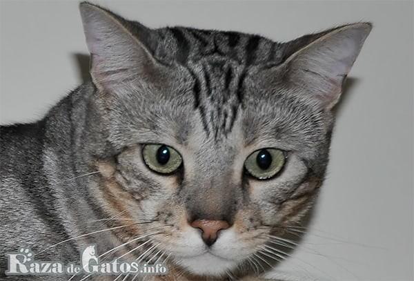 Foto de la cara del gato Sokoke.