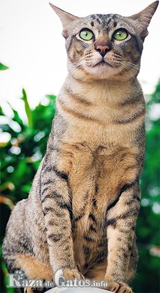 Imágen del gato Sokoke o gato Kadzonzo, sentado.