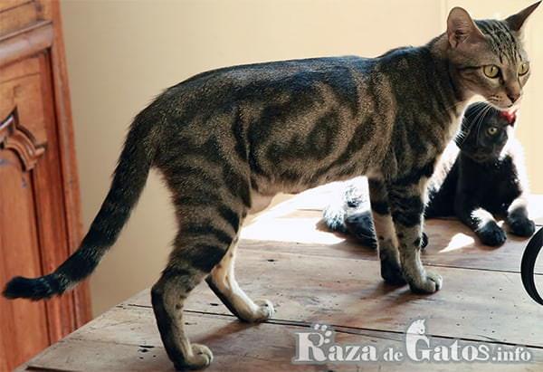 Foto del gato Sokoke, también llamado gato Africano de pelo corto.