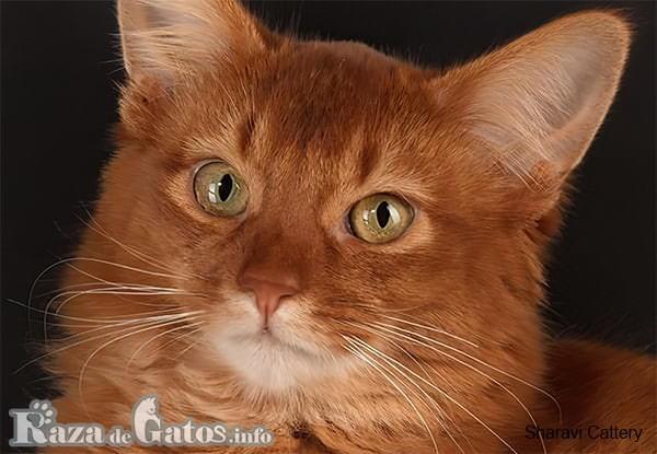 Foto de la cara del gato Somalí.