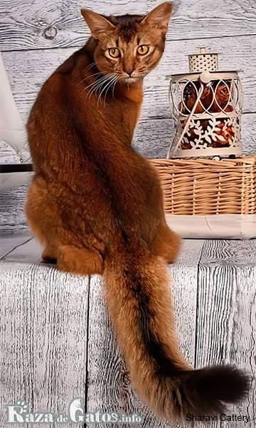 Imágen del gato somalí, o en ingles fox cat. Con su larga cola.