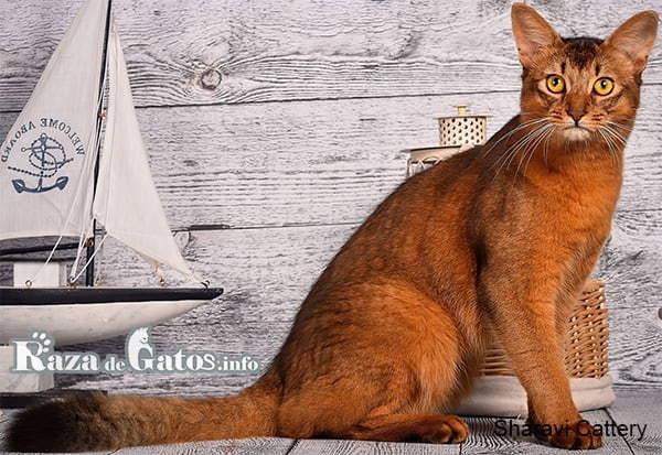 Foto del gato Somali o Abisinio de pelo largo