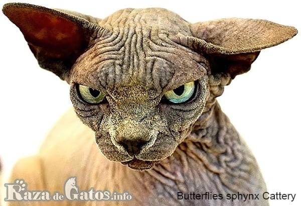 Foto de la cara del gato Sphynx.
