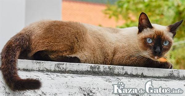 Imágen del gato Thai, tambien conocido como el siamés antiguo o tradicional.