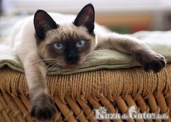 Foto del gato Thai descansando.
