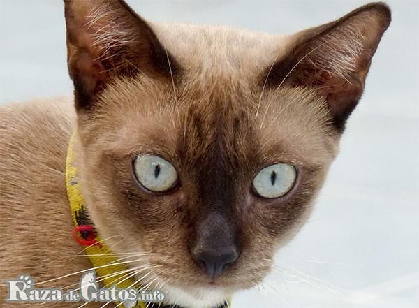 Foto de la cara del gato Tonkinés.