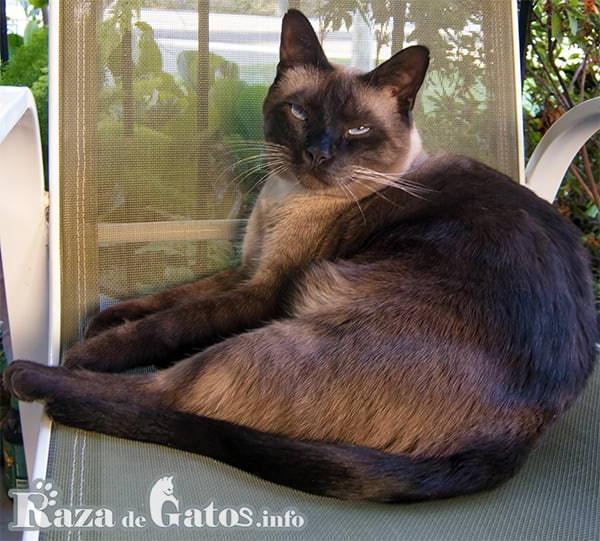 Imagen del gato Tonkines, también llamado gato Siamés dorado.