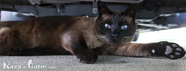 Foto del Golden siamese (gato Tonkines).