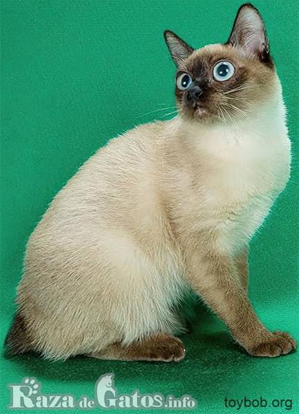 Imágen del gatito toybob el más pequeño del mundo.