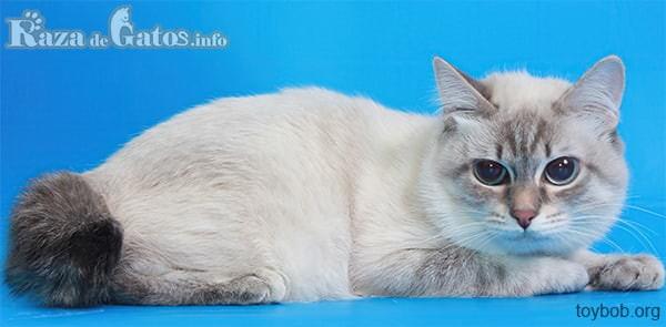Foto del gato toybob muy tierno.
