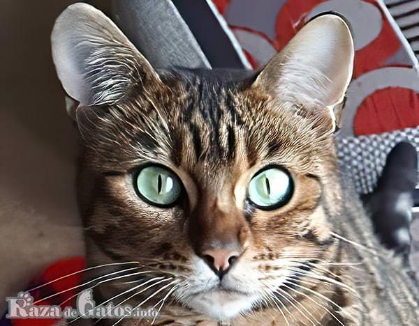 Foto de la cara del gato Toyger.