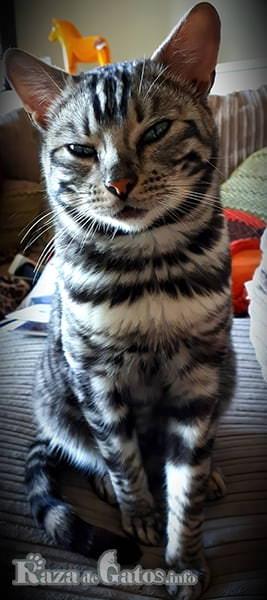 Imagen del gatito toyger, similar a un tigre pequeño.