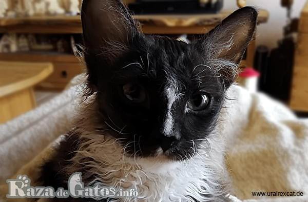 Imágen de la cara del gatito Ural Rex.