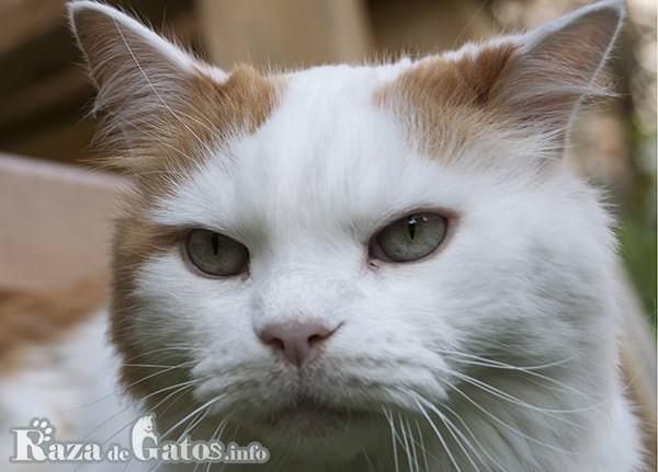 Foto de la cara del gato Van turco.