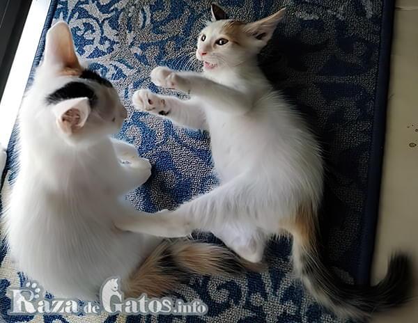 Fotografía de 2 gatitos van turcos jugando felices.