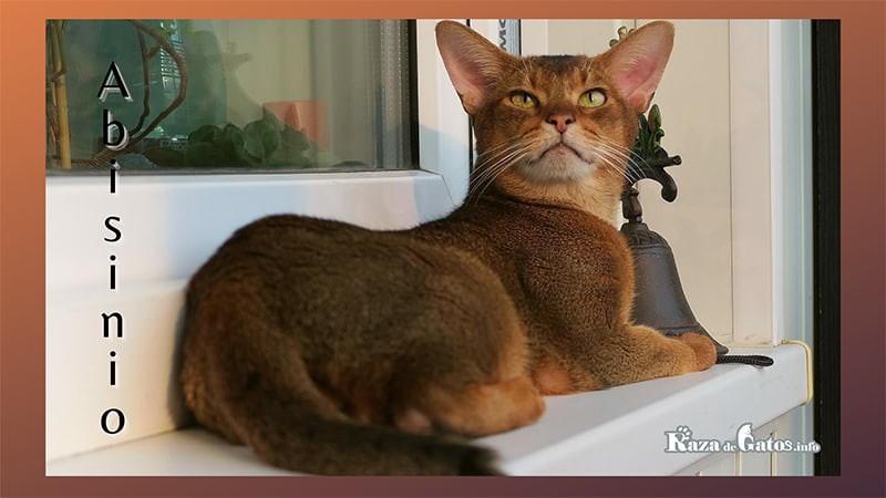 Fotografía del gato Abisinio. (abyssinian cat) en ingles.