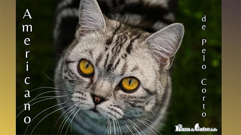 Foto del gato americano de pelo corto. American Shorthair.