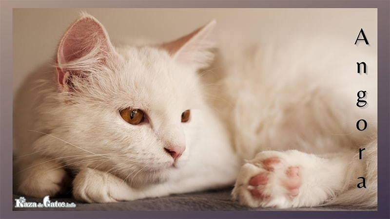 Foto del gato Angora Turco.