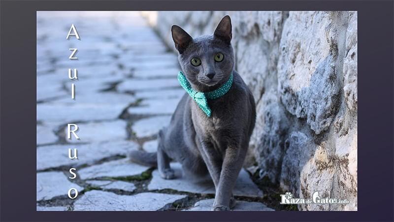 Fotografía del gato Azul Ruso. Gato arcángel.