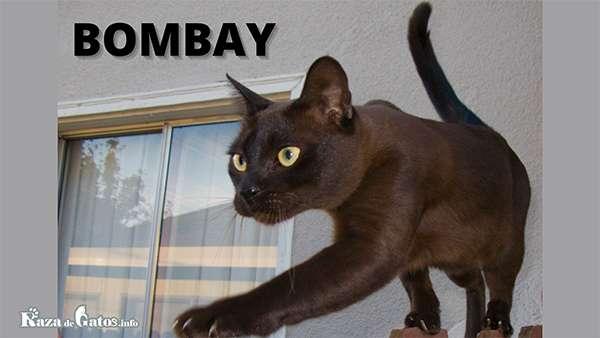 Foto - El gato Bombay - Razas de gatos con apariencia salvaje