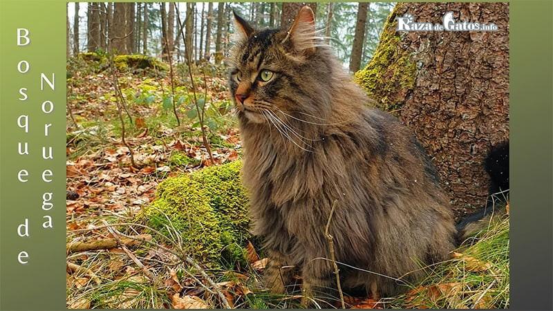 Foto del gato Bosque de Nuruega.